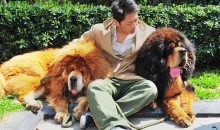 Tibetan Mastiff sold at a Chinese pet fair for $2Million
